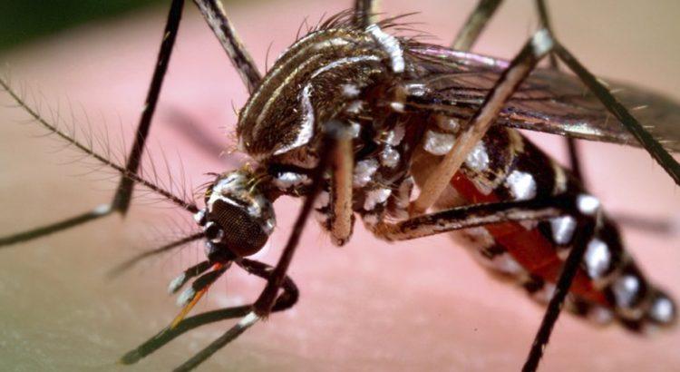 Por que o Aedes aegypti transmite tantas doenças? MI-Aedes - Ecovec